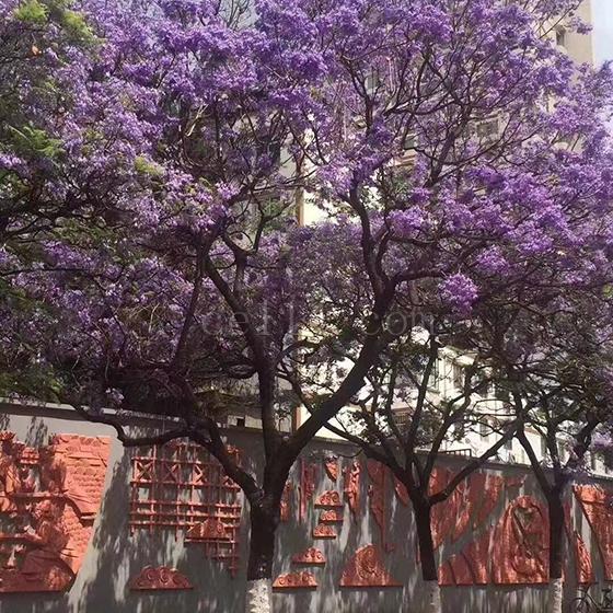 漳州藍花楹