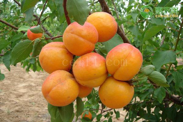 杏子什么品种好?