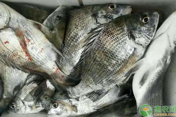 真鲷鱼的产地在哪里?如何选购新鲜真鲷鱼?