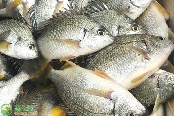 如何选购新鲜真鲷鱼?
