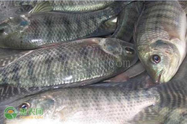 尼罗罗非鱼和罗非鱼有什么区别?