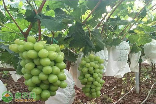 阳光玫瑰葡萄产地是哪里?品种有何优缺点?