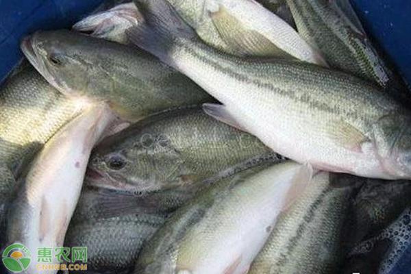 加州鲈鱼苗哪里有卖?如何挑选优质鲈鱼苗?
