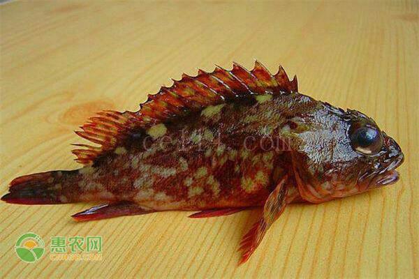 石翁鱼怎么食用?