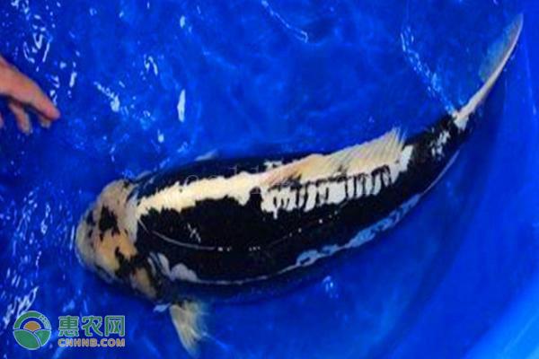 九纹龙锦鲤产有哪些特征?