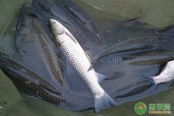 常见的可食用鱼类大盘点