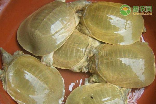 黄沙鳖和中华鳖有什么区别?