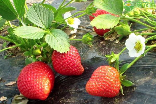 草莓每天需要多久的光照?