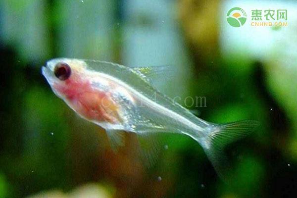 红肚玻璃鱼可以和孔雀鱼混养吗?