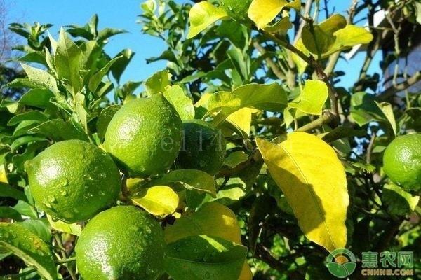 国内常见的柠檬品种有哪几个?