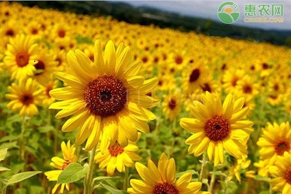 油葵和向日葵有什么区别?
