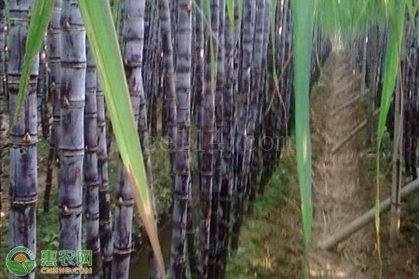 黑皮甘蔗与竹蔗有哪些区别?
