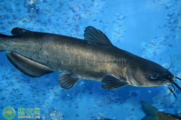 叉尾鮰鱼有什么特点?