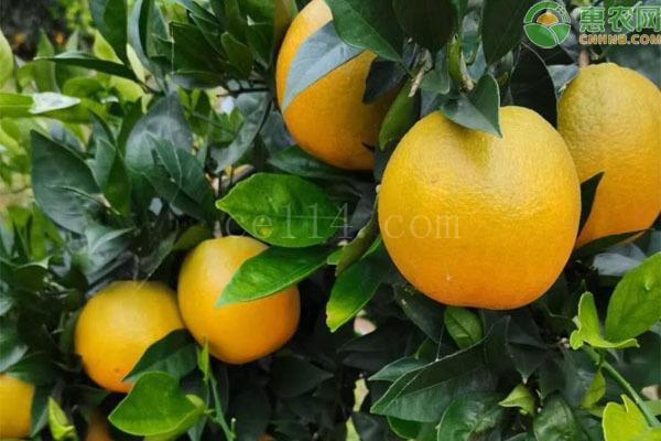 九月红脐橙有何优缺点?