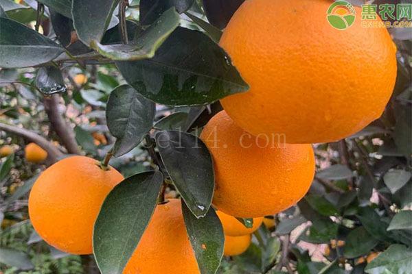 埃及糖橙和冰糖橙有什么区别?
