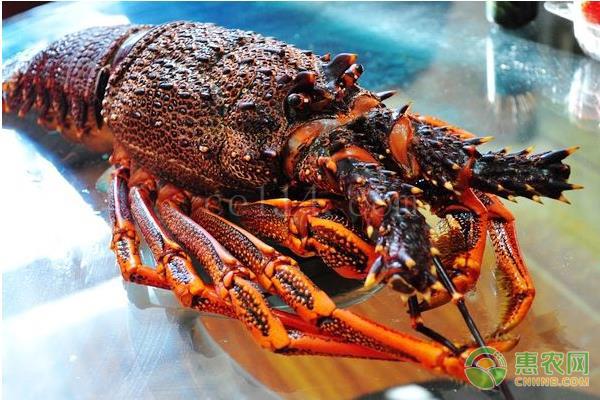日本龙虾产什么时候上市?
