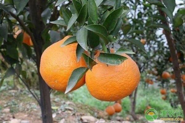 丑橘和耙耙柑有哪些区别?