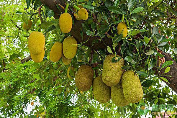 尖蜜拉菠萝蜜产地在哪?