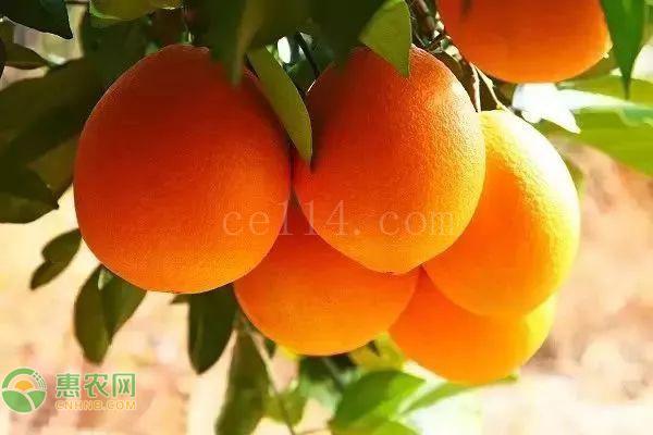 伦晚脐橙和夏橙哪个更好吃?