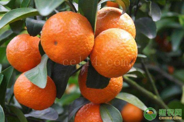 明日见柑橘产地在哪?