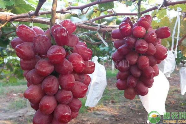日本葡萄品种有哪些?
