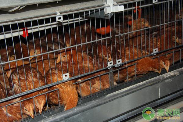 """农村有很多下蛋""""淘汰鸡"""",这种淘汰鸡营养价值如何?"""