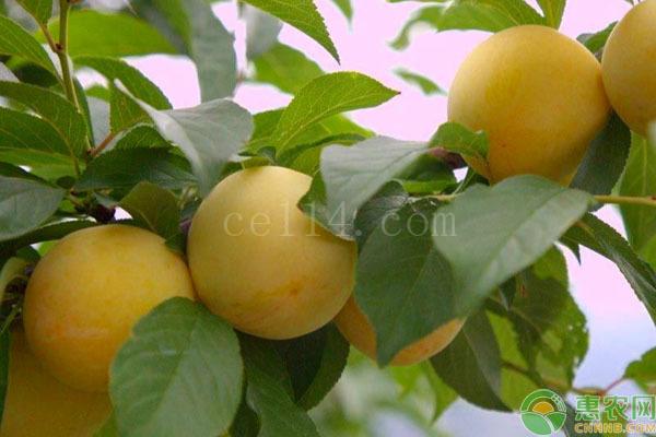 桃花李和蜂糖李的区别是什么?