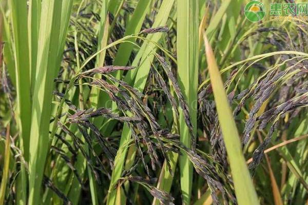 中国紫米之乡是哪里?