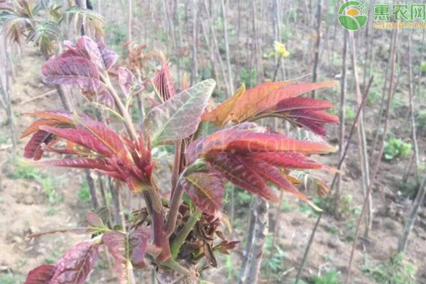 椿芽苗怎么种植?
