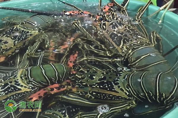 越南青龙虾和澳龙的区别是什么?