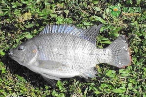 吉利罗非鱼和罗非鱼有什么区别?