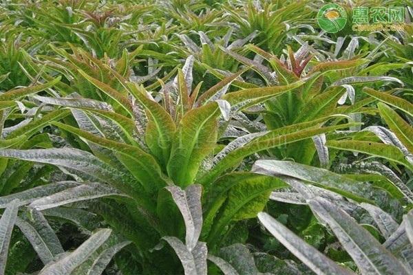 莴笋叶片封垄时,肉质茎开始横向膨大要怎么做?