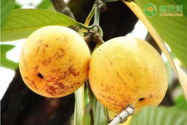 大果藤黄产地在哪?