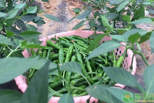 樟树港辣椒产地在哪?