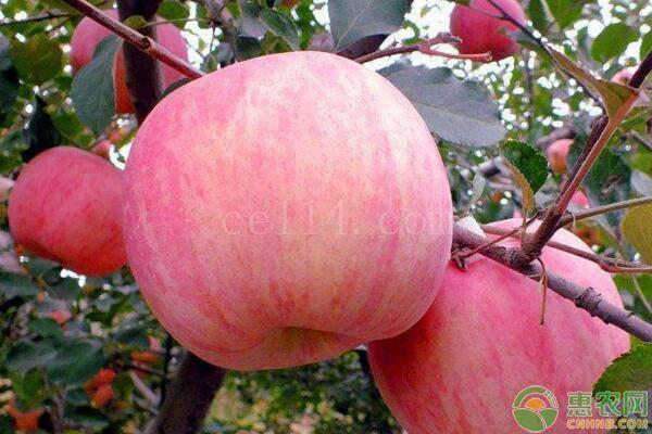 苹果最佳食用时间表