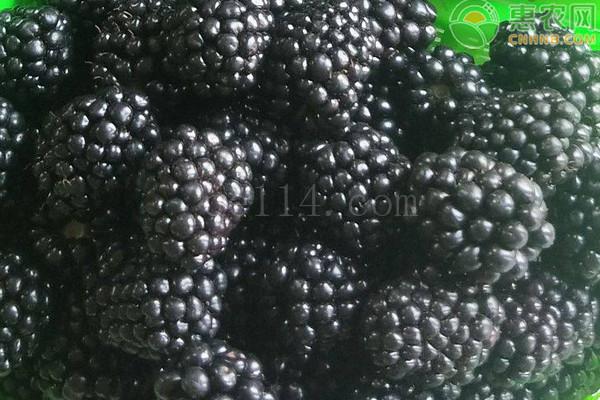 黑莓品种哪个好?
