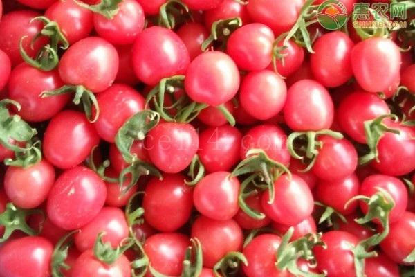种植千禧柿子遇虫害时,都有哪些应对技巧?