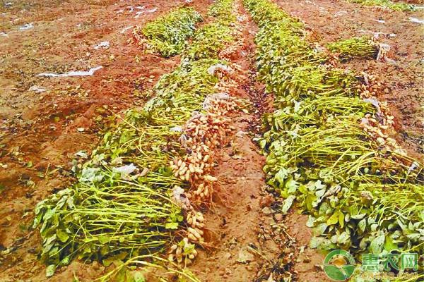 花生播种之前,为什么要用拌种剂对花生进行处理?