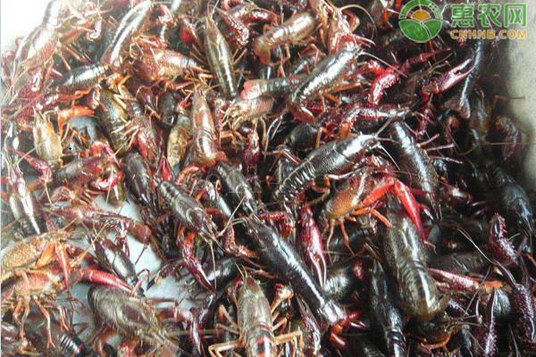 小龙虾怎么与鱼类混养?