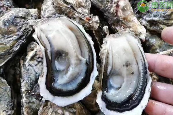 珍珠蚝哪里产的便宜?