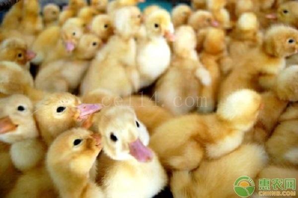 小鸭要怎么区分公母?