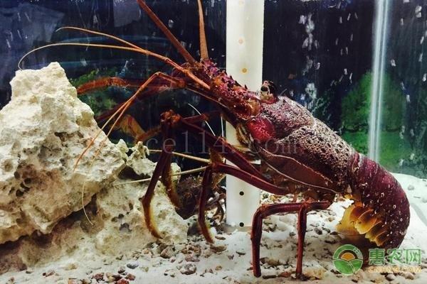 印度洋岩龙虾要怎么吃?