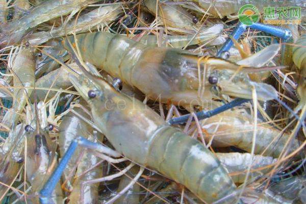 淡水养殖虾哪些品种好?