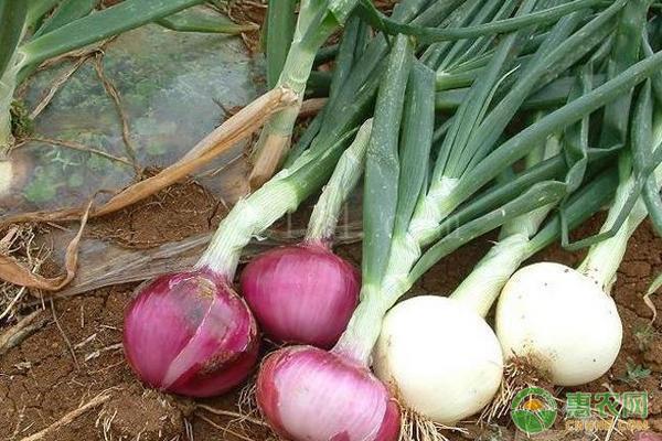 黄皮洋葱和紫皮洋葱哪个好吃?