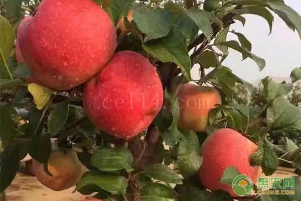 洛川苹果几月份成熟?