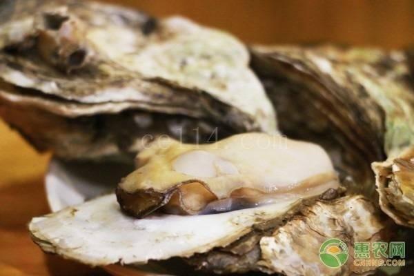 牡蛎要怎么分辨雌雄?