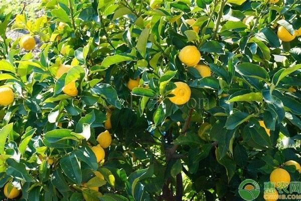 尤力克柠檬和香水柠檬有什么区别?