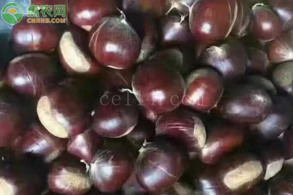 尖尖的栗子是什么品种?