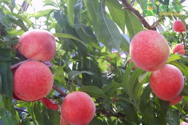 春蜜桃和突圍桃哪個好?