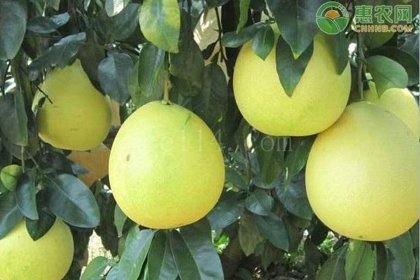 导致柚子越来越难吃的原因都有哪些?